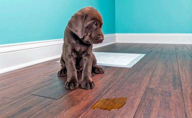 Comment éliminer l'odeur d'urine de chien – Remèdes à la maison