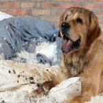 Pourquoi mon chien casse-t-il son lit? Causes et solutions