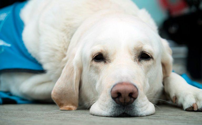 Choc anaphylactique chez le chien – Causes, symptômes et traitement