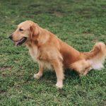 Régimes spécifiques pour les chiens souffrant d'insuffisance rénale