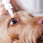 9 Affections oculaires courantes chez le chien - Symptômes et causes
