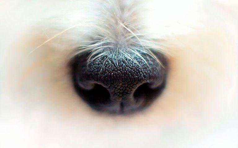 Qu'est-ce que l'hyperkératose canine et comment est-elle traitée?