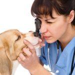 Traitement de la dystiquiose chez le chien