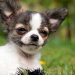 Comment prendre soin d'un Chihuahua - Nourriture, vêtements, entretien