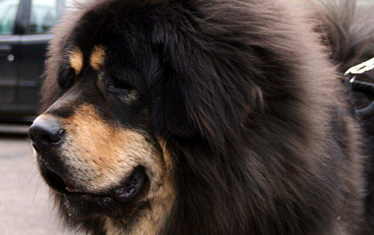 Le Mastiff Tibétain – Caractère, comportement et soin
