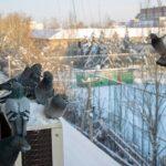 Est-il légal d'utiliser Nicarbazine pour contrôler la population de pigeons?