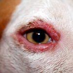 Syndrome de Waardenburg-Klein chez le chien