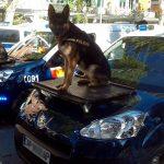 Quelles sont les meilleures races de chiens policiers? Guide complet
