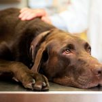 Dermatite atopique chez le chien Qu'est-ce que c'est et quel est le traitement?
