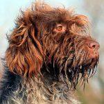 Korthals Griffon, un chien hors route