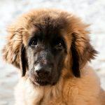 Comment vermifuger un chien: puces, tiques et vers