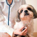 Sténose pulmonaire canine - Diagnostic et traitement