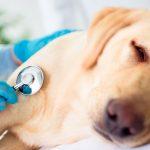 Insuffisance cardiaque chez le chien (maladie cardiaque)