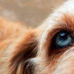 Glaucome chez les chiens