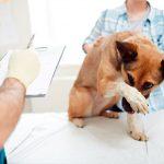 Ascite chez le chien - Diagnostic et traitement