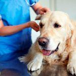 Hypoadrénocorticisme canin (syndrome d'Addison)