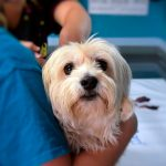 Comment savoir si mon chien a une leucémie? Symptômes et traitement