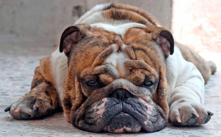 Syndrome de Cushing canin – Diagnostic et traitement