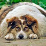 Obésité chez les chiens
