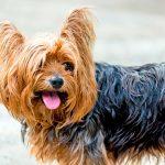 Maladies courantes chez les chiens Yorkshire Terrier
