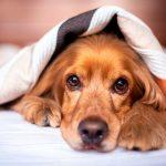 Comment prendre soin d'un chien après l'opération