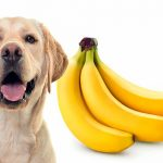 Les chiens peuvent-ils manger des bananes? Avantages et montants