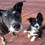 Symptômes du vieillissement chez les chiens
