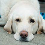 Lipomes chez le chien (tumeurs graisseuses)