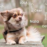 Connaissez-vous ces noms pour petits ou mini chiens?