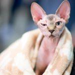 Comment baigner un sphynx ou un chat sans poils ?