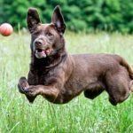 Comment apprendre à un chien à aller chercher la balle