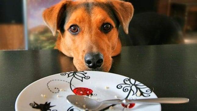 Comment empêcher notre chien de mendier de la nourriture
