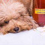 Vinaigre de cidre de pomme pour chiens : utilisations et bienfaits