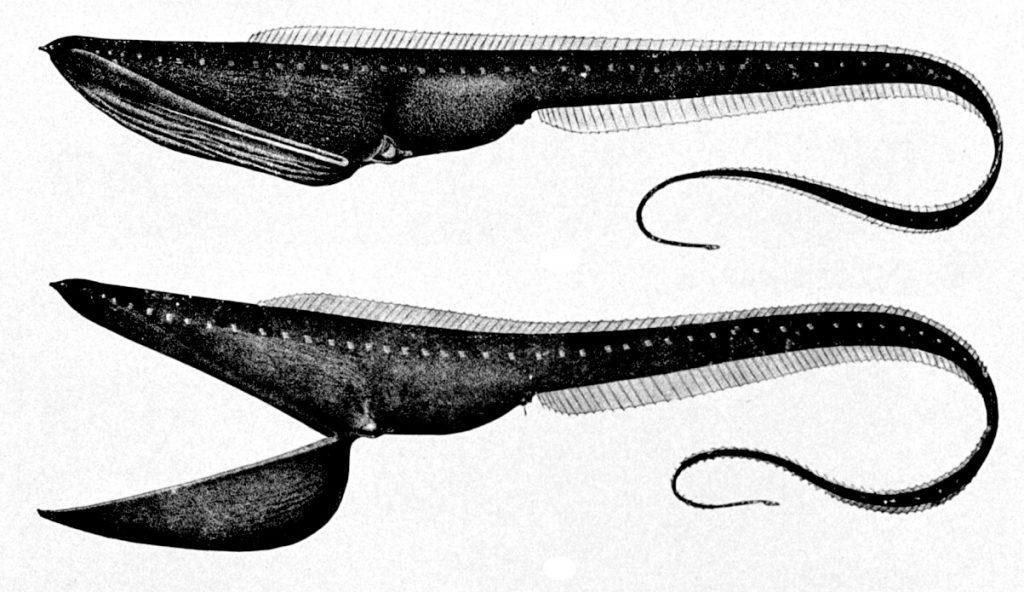 Poisson pélican : habitat et caractéristiques