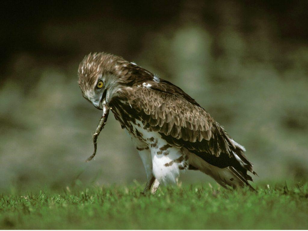 Aigle court : habitat et caractéristiques
