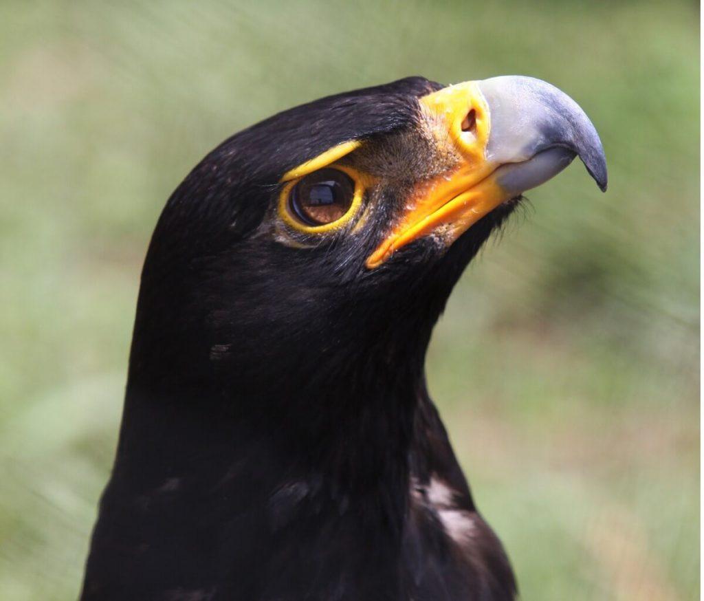 Aigle noir : habitat et caractéristiques