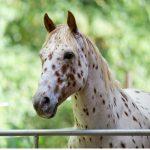 Cheval Appaloosa : origine et caractéristiques