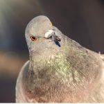 Comportement des pigeons