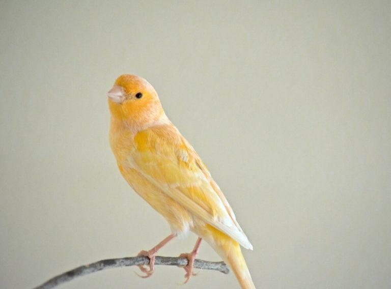 Les plumes de mon canari tombent : pourquoi ?