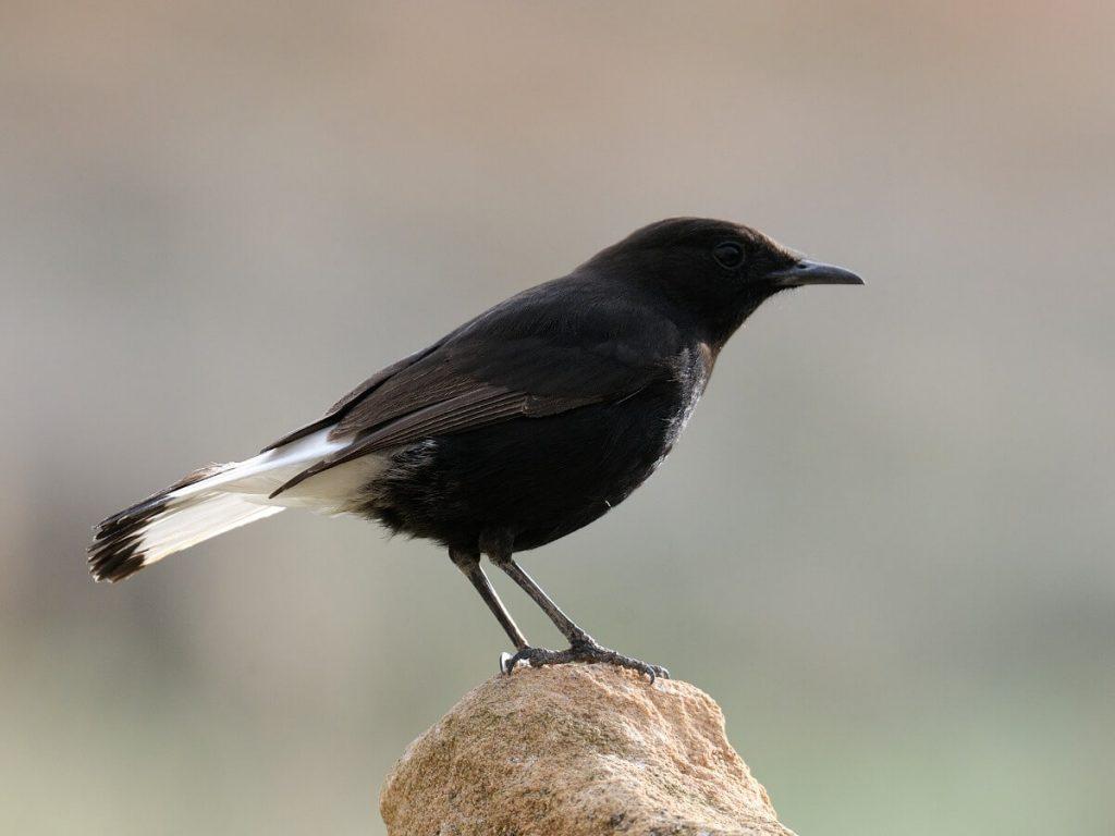 Traquet noir : habitat et caractéristiques