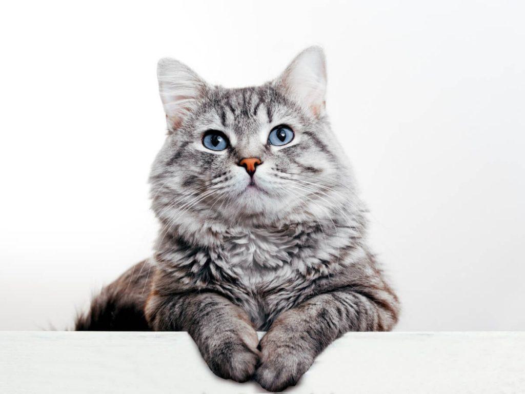 Infertilité chez le chat : causes, diagnostic et traitement