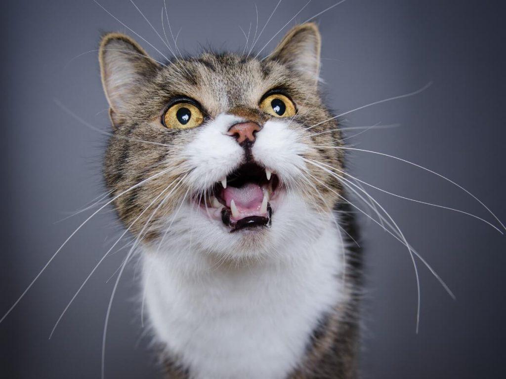 Mon chat miaule beaucoup : 7 causes et solutions