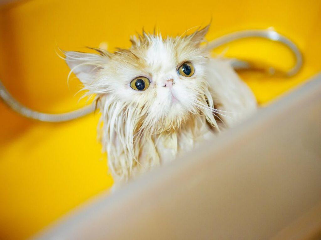7 étapes pour baigner un chat persan