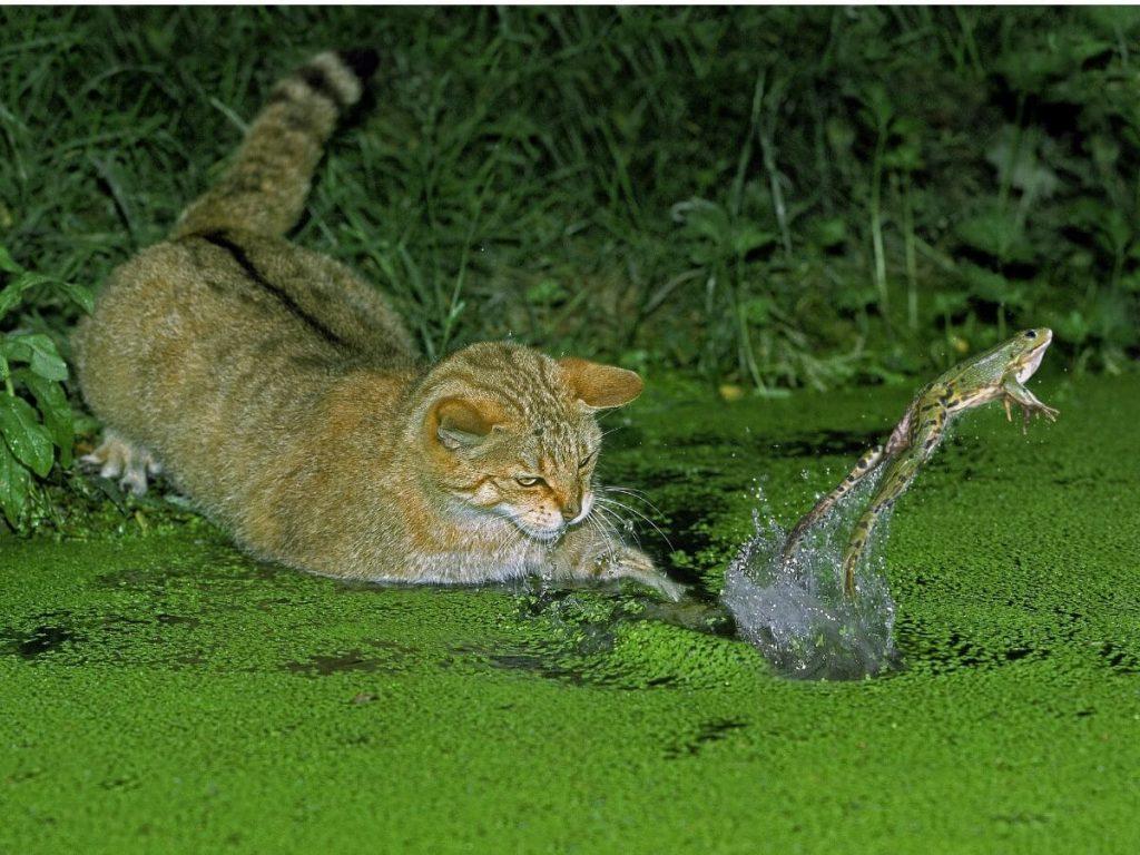 Quels animaux vivent en Forêt-Noire ?