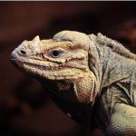 Iguane cornu : habitat, caractéristiques et conservation