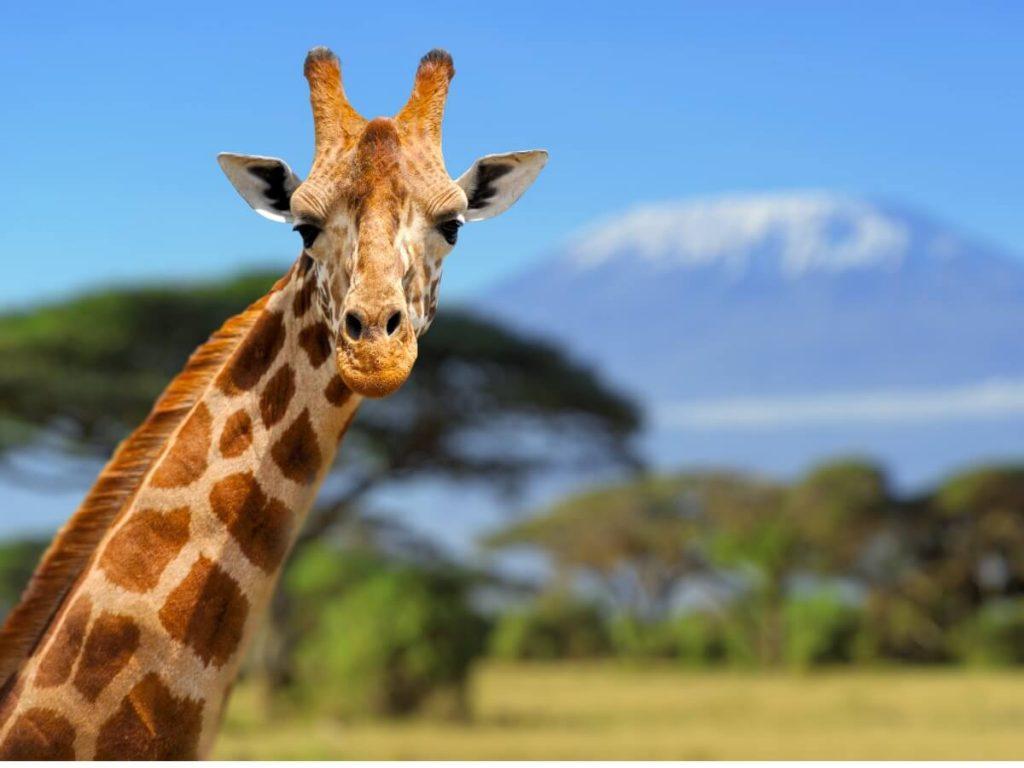 Comportement de la girafe