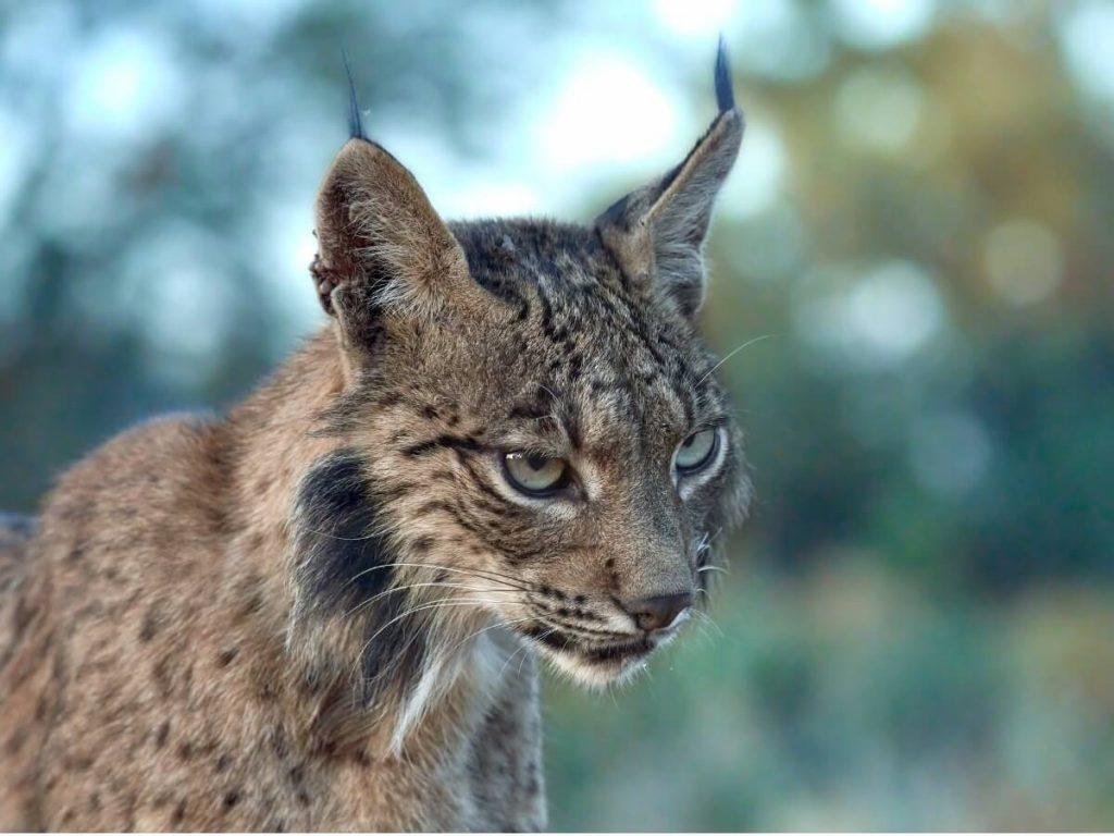 Comportement du lynx ibérique