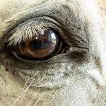 Glaucome du cheval : causes, symptômes et traitement