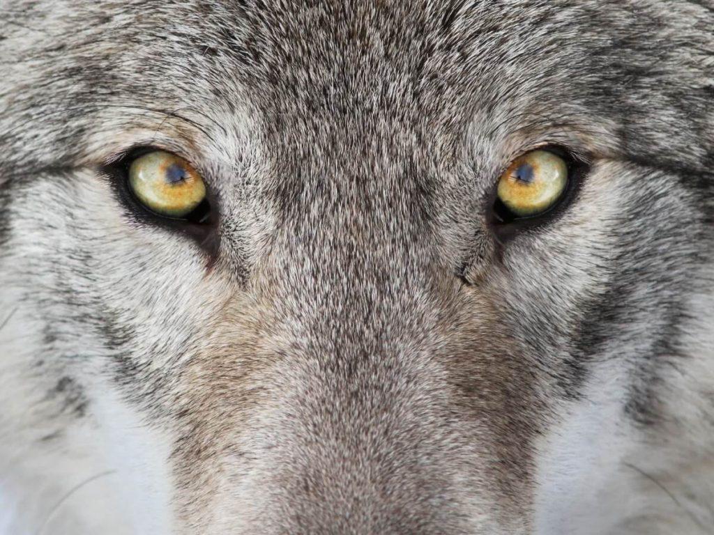 5 différences entre les loups et les chiens