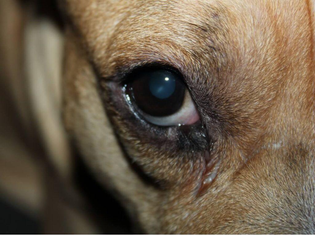 Mon chien a l'oeil rouge et gonflé : 10 causes et traitements